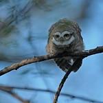Spotted Owlet (Athene brama) in Ranthambhore national park against blue skies
