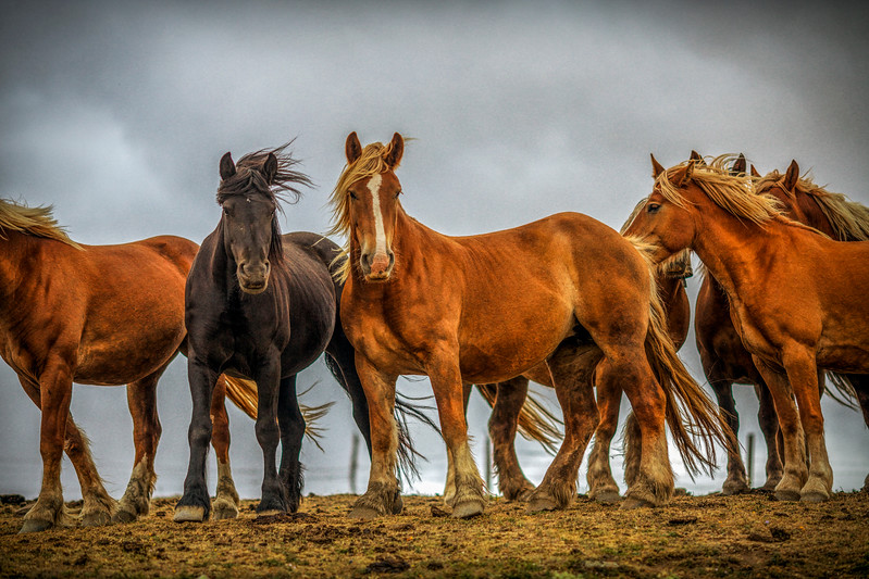Wild horses, burguete breed, Spain