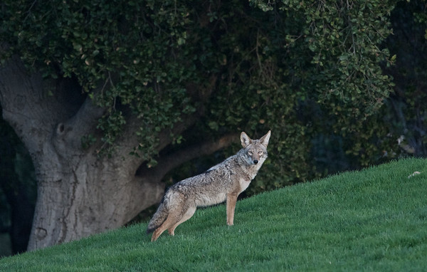 coyote visit to Lathrop Park