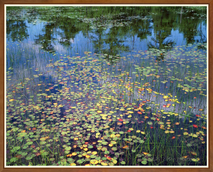Water Lilies and Pine Tree Reflections