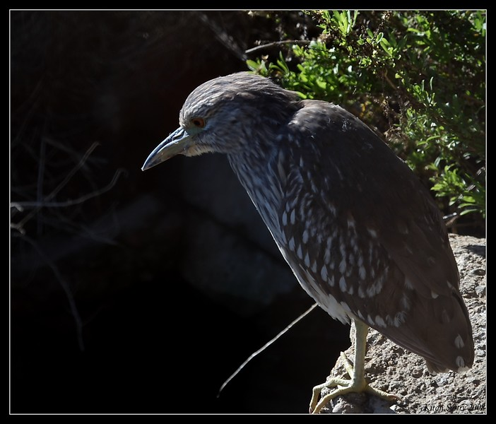 Juvenile Black-crowned Night Heron, Famosa Slough, San Diego County, California, December 2008