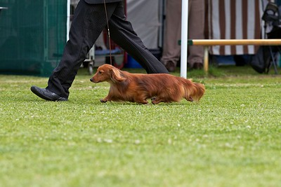 .Other Dachsund (Miniature Long Haired)