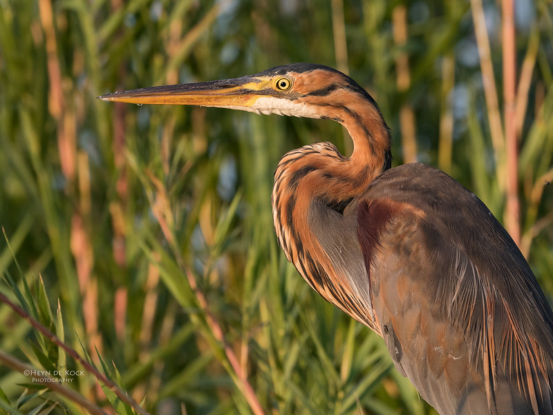 Purple Heron, Chobe River, NAM, Oct 2016-1.jpg