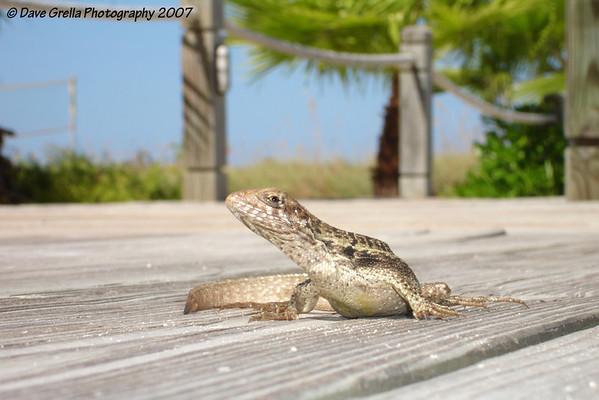 Lizards & Iguanas