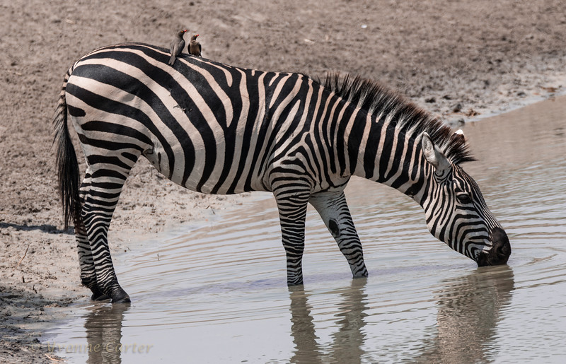 Zebra drink body_10_w.jpg