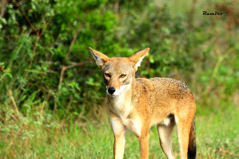 Coyote 8-16-15 081.jpg