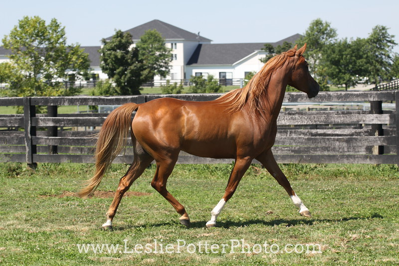Chestnut Arabian Horse Trotting in Field