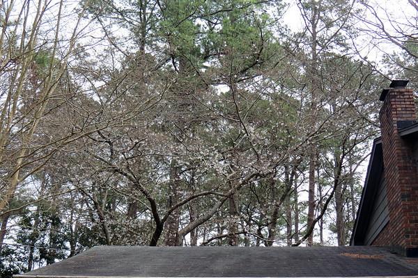 March 11 - 24:  Spotlight on the Yoshino Cherry tree .  .  .