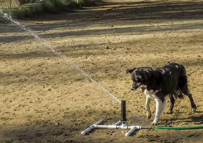 DogsPlayingInSprinkler-Sept25,2013