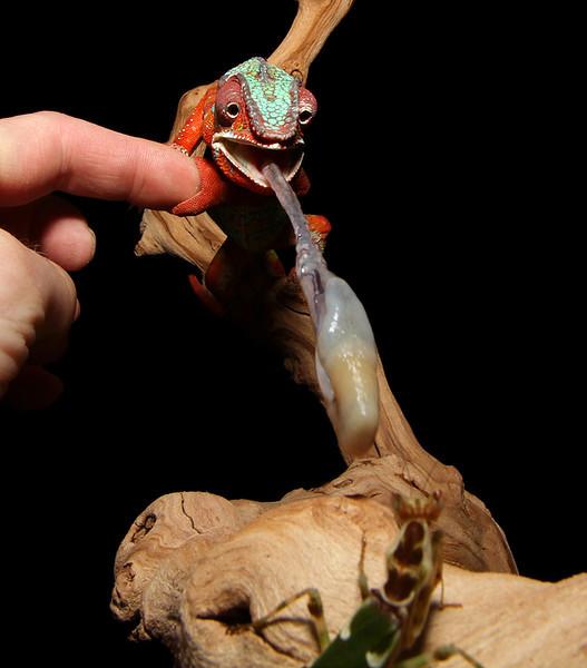 Chameleon Grabbing A Snack.jpg