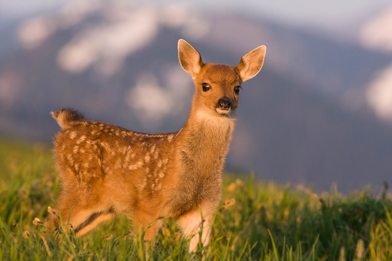 Blacktail fawn and Olympic mountain range, Olympic National Park