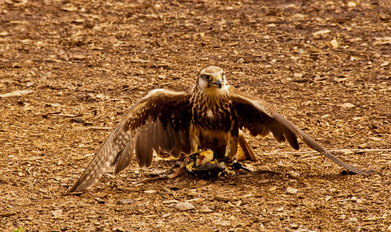This hawk has a fresh kill to feast upon.