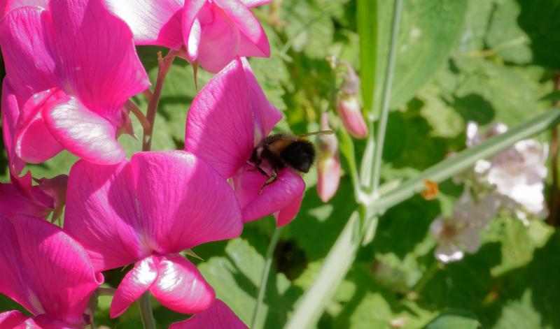 Bee and Sweet Pea