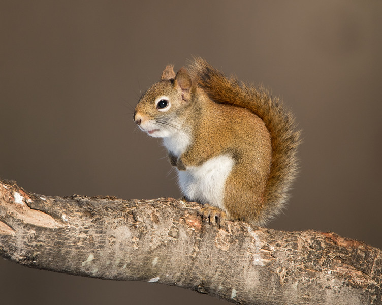 Red Squirrel 2021.jpg