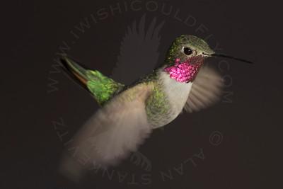 Hummingbird, Broad-Tailed
