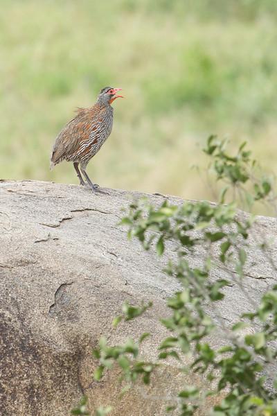 Serengeti_Feb_2013_IG3A1312.tiff.jpg