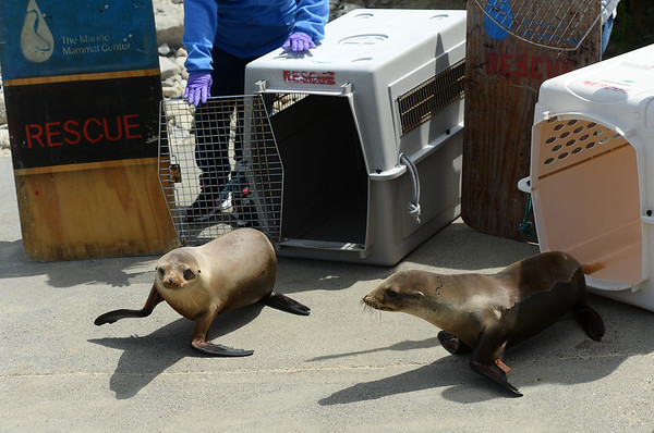 . Two young California sea lions are released by Marine Mammal Center personnel on a beach at Chimney Rock in West Marin near Inverness, Calif. on Thursday, May 10, 2018. They were among 14 pinnipeds released after being rehabilitated at the Marine Mammal Center in Sausalito.  (Alan Dep/Marin Independent Journal)
