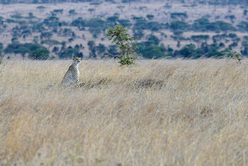 Cheetah-on-the-lookout.jpg