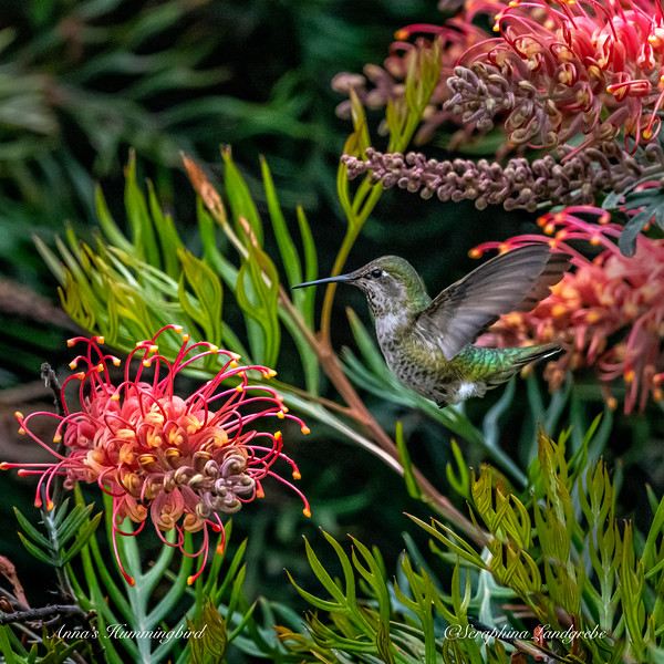 _DSC6240Annan's Hummingbirds.jpg