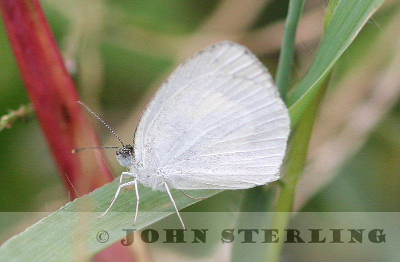 Yellow-barred White
