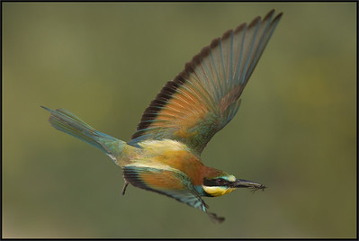 (European) Bee Eater - Gruccione (Merops apiaster) - Lombardy's  countryside - Italy