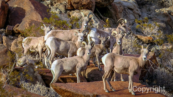 Desert Bighorn Sheep:  Adults & Lambs