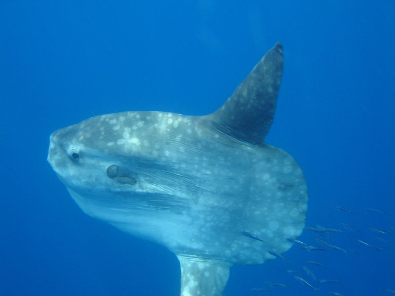 A sunfish that came up under our boat to check out all the action.