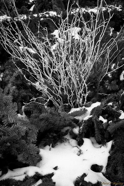 White Twigs