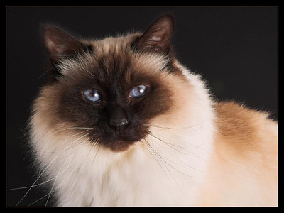 Cino the Birman