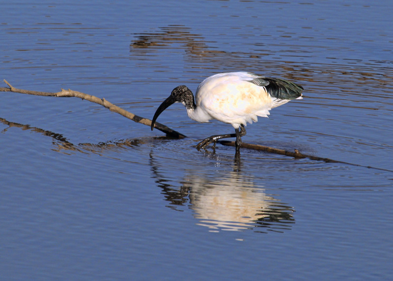 SACRED IBIS - SOUTH AFRICA
