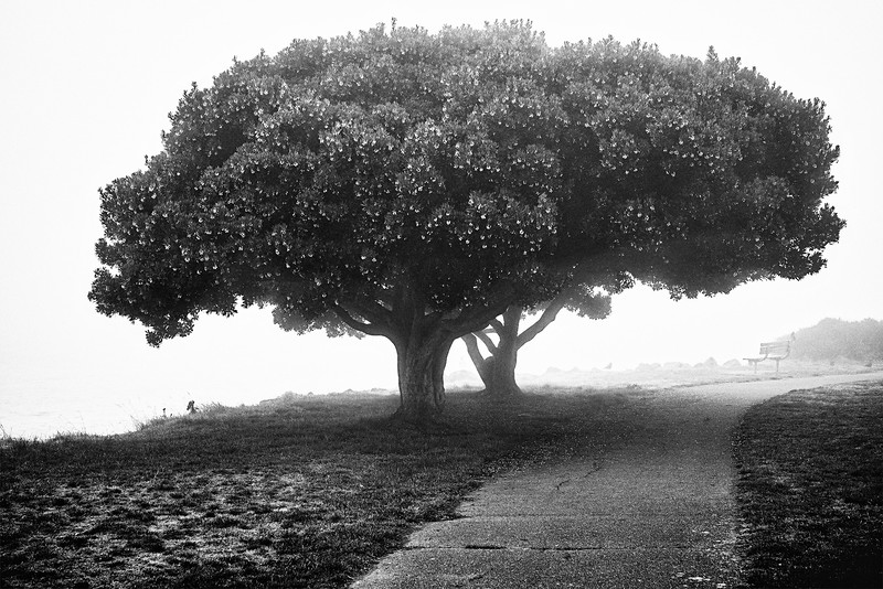 Trees with little blooming flowers on a foggy morning at Alki Beach