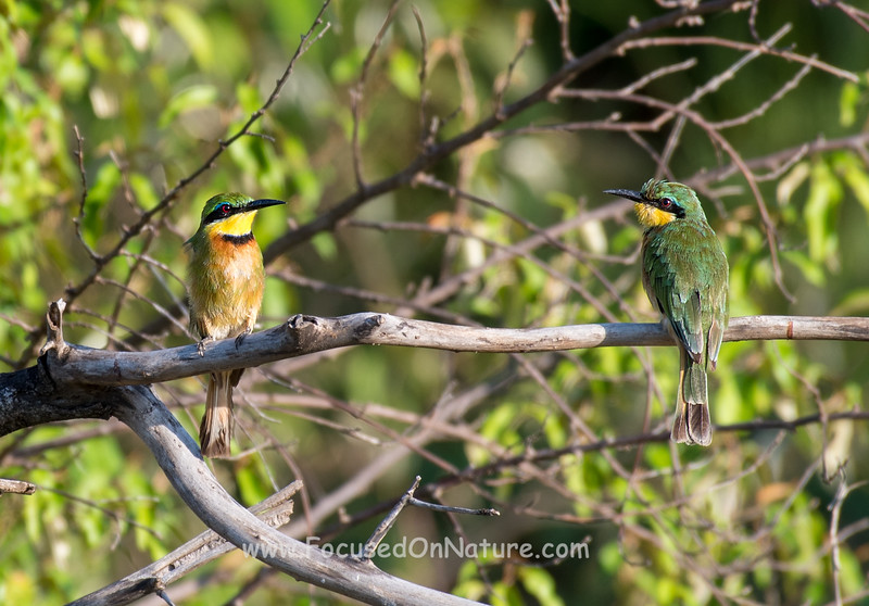 Little Bee-eaters