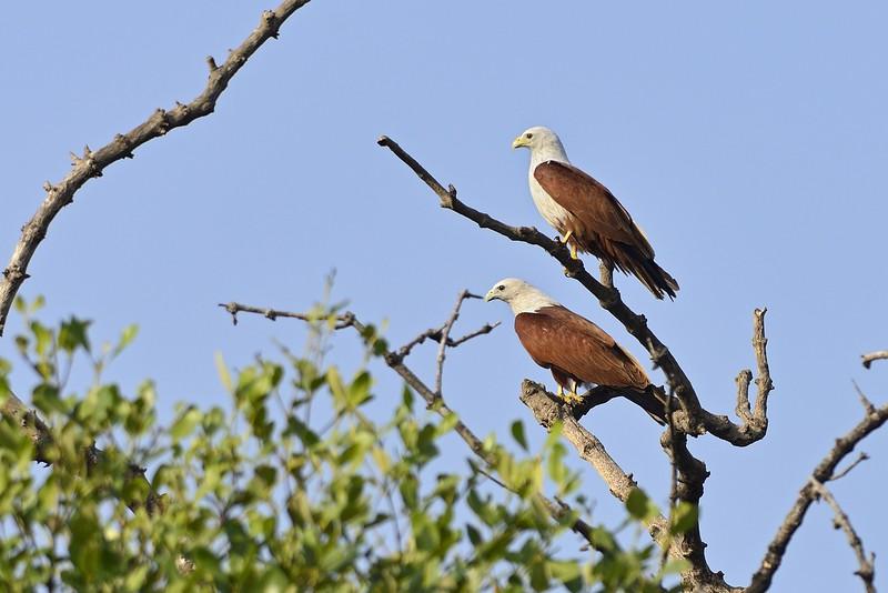 Brahminy-Kites.jpg