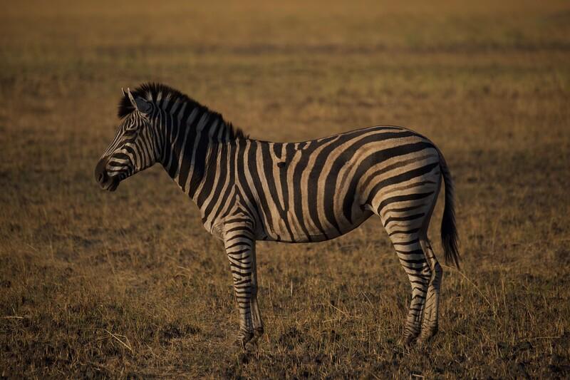 Zebra, Shinde camp, Botswana