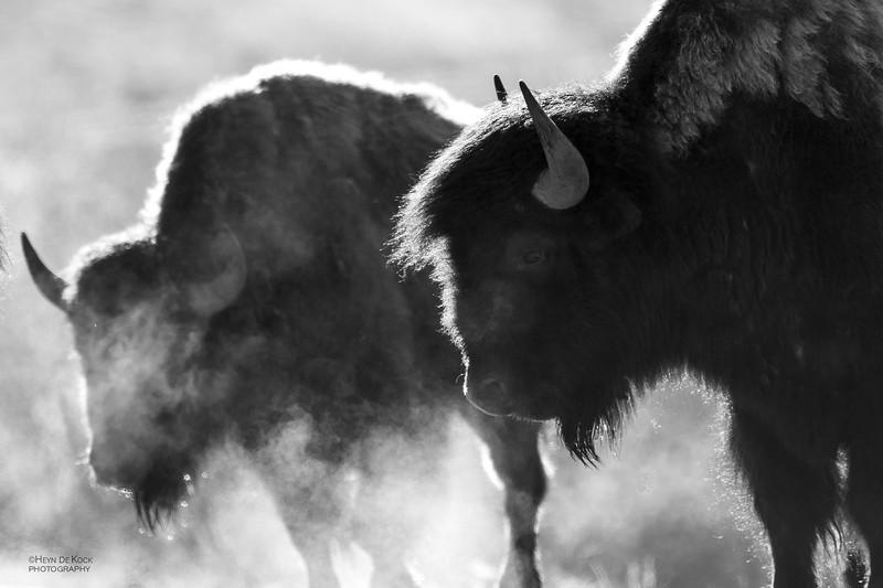 Bison, Yellowstone NP, b&w, WY, USA May 2018-2.jpg