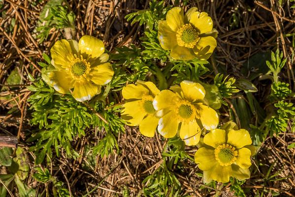 Silky alpine buttercup - Ranunculus sericophyllus