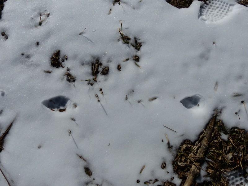 "Coyote - tracks (stride = 21.5"")"