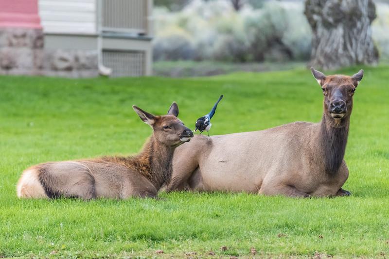 Elk-Mammoth-in-town-4.JPG