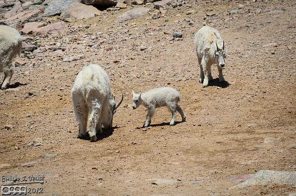 Mount Evans - The Critters