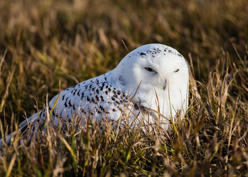 Snowy Owl, near Hanley, SK October 2015