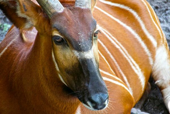Striped Gazelle