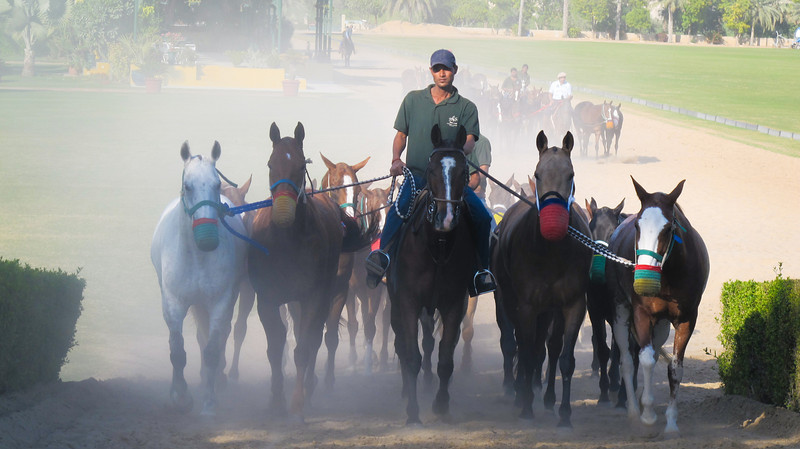 A herd of majestic Arabian horses at the Desert Palm Resort