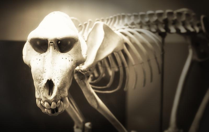 Baboon Skeleton.jpg