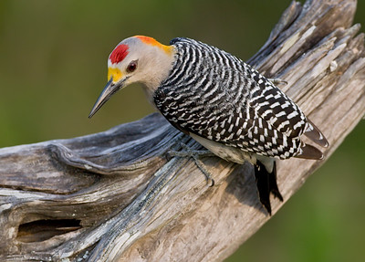 Goldenfronted Woodpecker