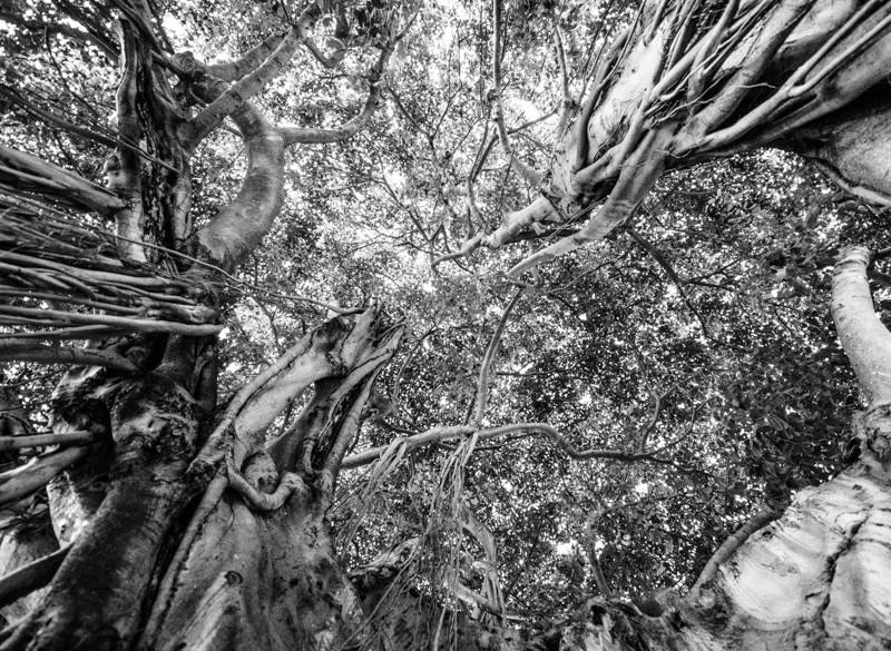 Banyan Tree 37