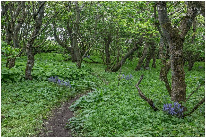 Halligarth woodland, Baltasound - UK's most northerly woodland (1) (Unst)