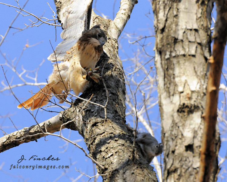 redtail hawk, squirrel chase 2.JPG