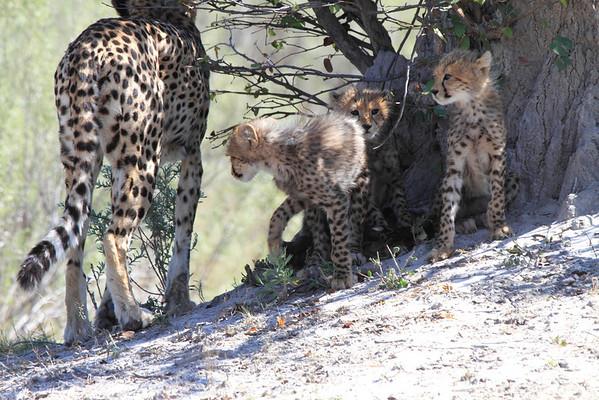 Cheetah Okavango Delta Botswana 2008 2011