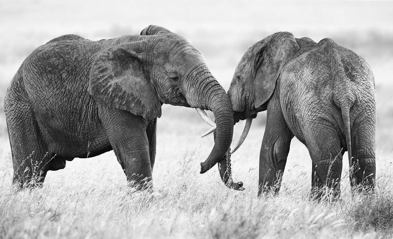 Elephant-tussle-Serengeti-Tanzania.jpg