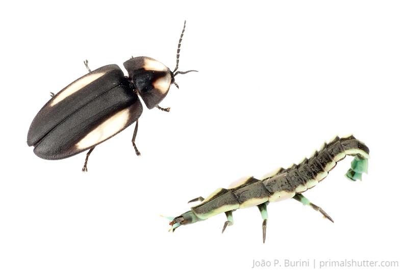 Firefly (Coleoptera: Lampyridae) Ribeirão Grande, SP, Brazil November 2012 Tropical forest / Atlantic forest